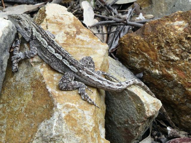 Tree Dragon Jacky Lizard Amphibolurus Muricatus Bica Bend Of