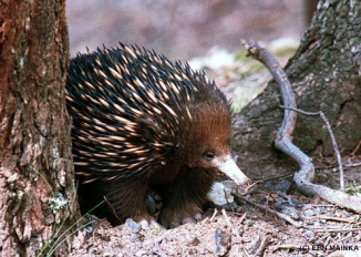Short-beaked Echidna (Tachyglossus aculeatus), photo by Ern Mainka