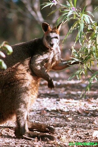 Swamp Wallaby (Wallabia bicolor), photo by Ern Mainka
