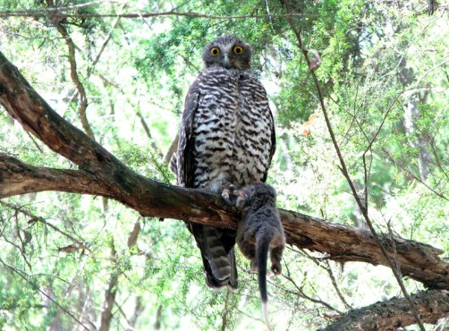 Powerful Owl. Photo: Frank Pierce.