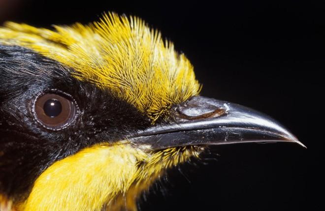 Helmeted Honeyeater-Friends of Helmeted Honeyeater Group
